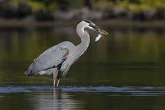 Häger för stora blått som äter en fisk - Pinellas County, Florida Arkivbilder