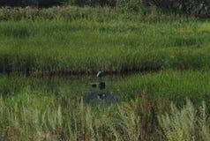 Häger för stora blått som poserar i florida våtmark på gryning royaltyfri bild