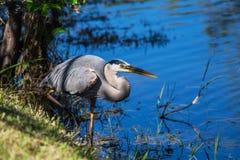 Häger i Everglades royaltyfria foton