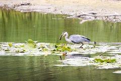 Häger i vattnet med en fisk arkivfoton