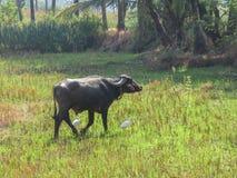 Häger medföljer den indiska zebukon som går till och med ängen arkivfoton