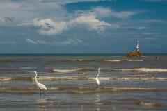 Häger och pelikan som fångar fisken på kusten i Livingston Arkivbilder