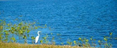 Häger vid sjön arkivbild