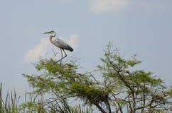 Hägeranseende för stora blått i träd bredvid fågelungen i rede Royaltyfria Foton