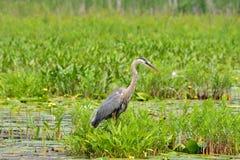 Hägeranseende för stora blått i vatten och vegetation Royaltyfria Foton