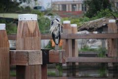 Hägeranseende på en förtöja stolpe som söker för fisk i kanalen Hollandsche IJssel på gouda i Nederländerna royaltyfri fotografi