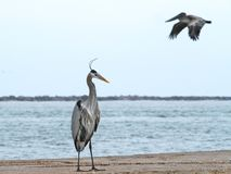 Hägeranseendet som pelikan flyga iväg fotografering för bildbyråer