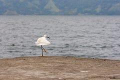 Hägerfågel för snöig ägretthäger Fotografering för Bildbyråer