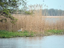 Hägerfågel nära sjön Arkivfoton