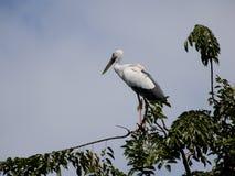 Hägerfågel på överkanten av trädet Arkivbilder