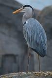 Hägerfågel på en vagga Fotografering för Bildbyråer