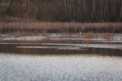 Hägerfågelanseende i högt gräs på dammet royaltyfria foton