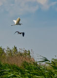 Hägerfågelflyg Arkivbild