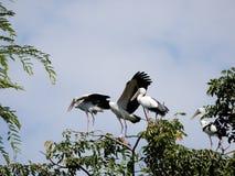 Hägerfåglarna står på överkanten av trädet Fotografering för Bildbyråer