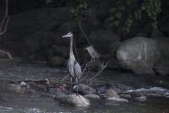 Hägerfiske vaggar på i en parkera Arkivfoton
