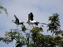 Hägergruppfåglarna bor på trädet Royaltyfri Bild