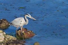 Hägerjakt för stora blått för mat i grunt kust- vatten Royaltyfri Foto