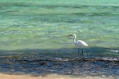 Hägervit - Ardea Alba Fishing i vågorna av Röda havet arkivbild