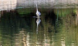 Hägerwaterbird på sjön fotografering för bildbyråer
