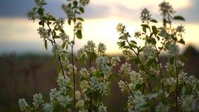 Hägg med vita blommor som svänger i den ljusa vinden på solnedgången stock video