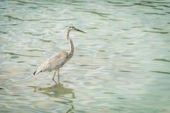Hägret för stora blått fiskar i grönt vatten Royaltyfria Foton