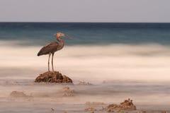 Hägret vaggar på blickar ut till det oskarpa havet, Sulawesi Arkivbild