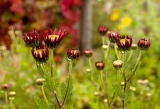 Hälft-öppnad chrysanthemum i höstträdgården Royaltyfria Bilder
