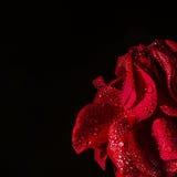 Hälfte der rosafarbenen Blume auf Schwarzem mit Wasser fällt Nahaufnahme Stockfoto