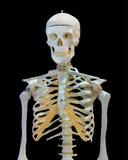 Hälfte des menschlichen Skeletts auf Weiß Lizenzfreies Stockbild