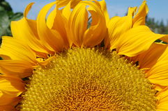 Hälfte eine blühende Sonnenblume Stockbild