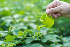 Hälla en ung växt från en liten bevattna can, miljöbegrepp royaltyfri foto