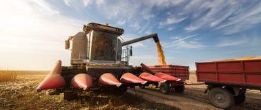Hällande havrekorn in i traktorsläpet efter skörd Arkivbild