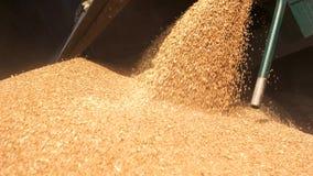 Hällande korn i högen stock video