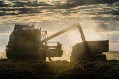 Hällande vetekorn in i traktorsläpet efter skörd Arkivfoto