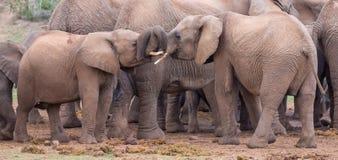 Hälsa för två ungt elefantvänner Fotografering för Bildbyråer
