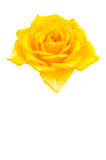 Hälsning Rose i stor dag Royaltyfri Bild