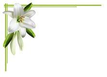 Hälsningkort med vita liljor Arkivfoto