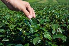 Hält Teeblätter Stockfotografie