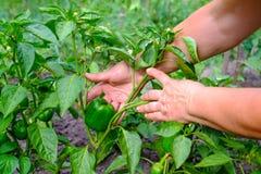 Hände der erwachsenen Frau hält einen Paprika des grünen Paprikas auf dem Gartenhintergrund Das Konzept des wachsenden Gemüses Stockfotografie