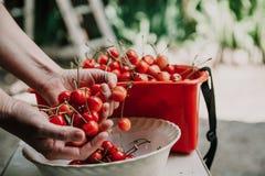 Hände der Frau eine reife Kirsche auswählend Lizenzfreie Stockfotografie