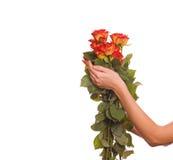 Hände der Frau mit einem Bündel Rosen Stockfotografie
