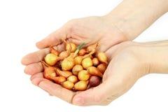 Hände der schönen Frauen halten die Startwerte für Zufallsgenerator der Zwiebeln an Lizenzfreie Stockfotos