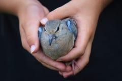 Hände des Kindes, die einen Vogel anhalten Stockfotografie