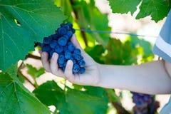 Hände des Kindes mit den blauen Trauben bereit zu ernten Stockbild