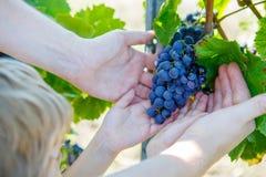 Hände des Kindes und des Erwachsenen mit den blauen Trauben bereit zu ernten Stockfotos