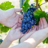 Hände des Kindes und des Erwachsenen mit den blauen Trauben bereit zu ernten Stockfotografie