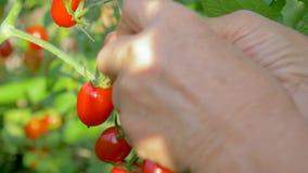 Hände des Landwirts gesammelt vom Busch in den reifen Tomaten des Gewächshauses stock video