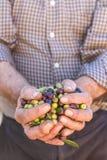 Hände des Landwirts mit Oliven Lizenzfreie Stockbilder