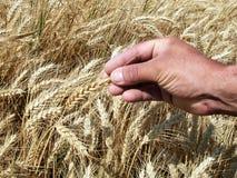 Hände des Mannes, die Weizenohren anhalten Lizenzfreies Stockbild