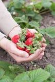 Hände des Mannes zeigen eine reife Erdbeere Stockbild